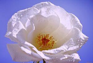 Белые лепестки